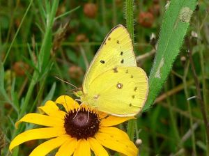 Butterfly Clouded Sulphur